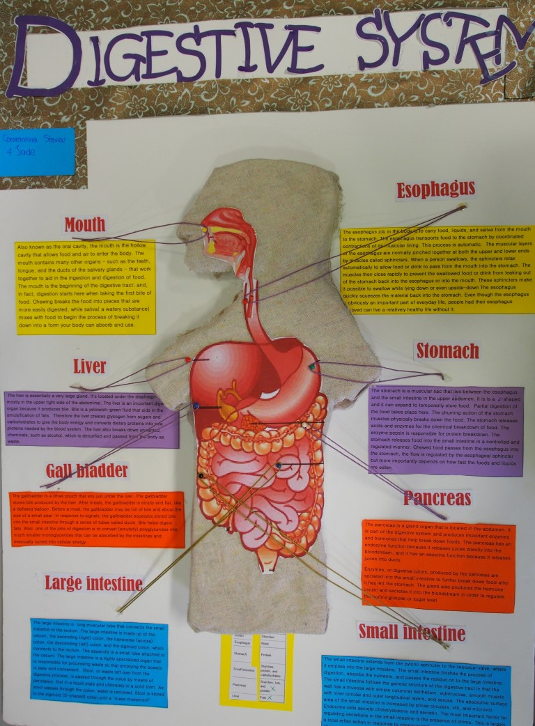 The English School Learning About The Digestive System